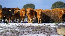 Free Herd Of Cows Stock Images - 17976484