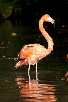 Free Pink Flamingo Standing Stock Image - 17976551