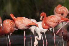 Free Pink Flamingos Flock Stock Photos - 17976643