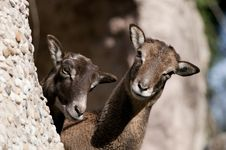 Free Atlas Mouflon, Female Stock Images - 17976694