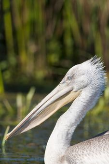 Free Dalmatian Pelican Portrait Royalty Free Stock Photography - 17976727