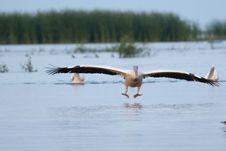 Free White Pelican Landing Royalty Free Stock Photos - 17976748