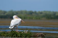 White Pelican Resting Stock Images