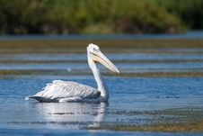 Free Dalmatian Pelican On Water Royalty Free Stock Images - 17977109
