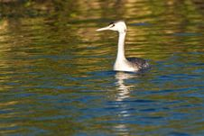 Free Great Crested Grebe, Juvenile Royalty Free Stock Photo - 17977135