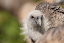 Free Griffon Vulture Portrait Royalty Free Stock Photos - 17977208