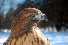 Free Hawk Head Royalty Free Stock Images - 17978679