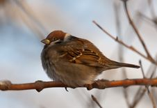 Free Portrait Of A Sparrow Royalty Free Stock Photos - 17978888