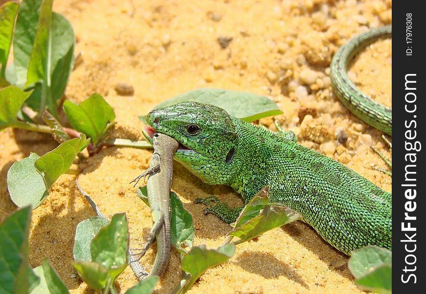 The big lizard eats a small lizard