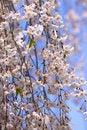Free Cherry Blossom Royalty Free Stock Photos - 17989448
