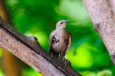 Free Juvenile European Starling Royalty Free Stock Image - 17980316