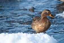 Free Grey Duck In River Winter Sunny Day Stock Image - 17981341