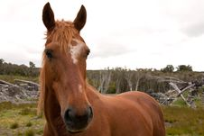 Free Chestnut Horse Stock Photography - 17981732