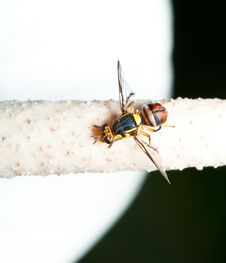 Free Hoverflies Macro Royalty Free Stock Photography - 17983587