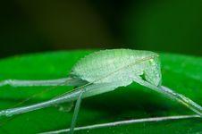 Free Green Cricket Royalty Free Stock Photo - 17984135