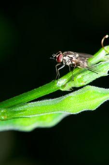 Free Male Stomorhina Lunata Fly Royalty Free Stock Photography - 17984197