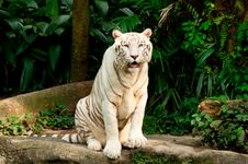 Free Endangered White Tiger Stock Photos - 17985363
