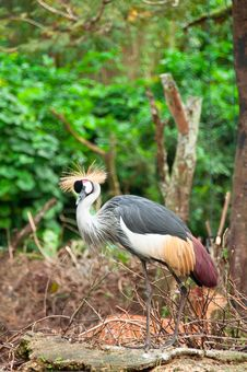 Free Grey Crowned Crane Royalty Free Stock Image - 17985516