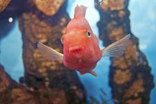 Free Aquarium Fish Red Stock Photos - 17985703