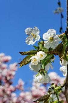Free Cherry Blossom. Stock Image - 17986101