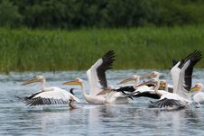 Free White Pelicans Royalty Free Stock Photography - 17986487