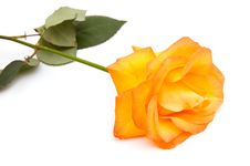 Free Orange Rose Stock Images - 17986814