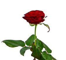Free Red Rose Royalty Free Stock Image - 17987076