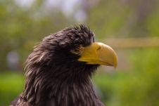 Free Steller S Sea Eagle (Haliaeetus Pelagicus) Stock Photo - 17987510