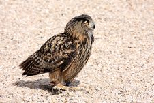 Free Bird Of Prey On Floor Stock Images - 17988364