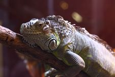 Free Iguana Stock Photography - 17989912