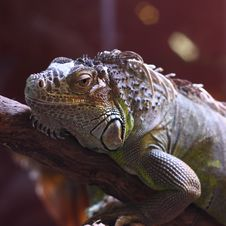 Free Iguana Royalty Free Stock Photography - 17989987