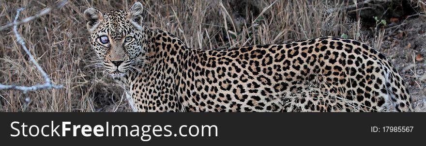 Leopard named Safari