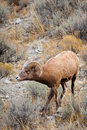 Free Young Bighorn Sheep Ram Stock Photo - 17996680