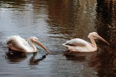 Free Rosy Pelican Couple Royalty Free Stock Photography - 17990787