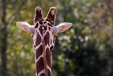 Free Rear View Of Giraffe Head And Neck Royalty Free Stock Photo - 17991245
