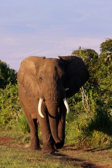 Free Bull Elephant Stock Photo - 17993850