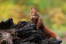 Free Squirrel Stock Photography - 17994442