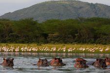 Free Hippo Lake Royalty Free Stock Photography - 17994497