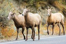 Free Bighorn Sheep Ewes Walking Down Road Stock Photo - 17996600