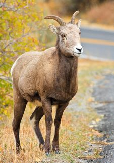 Free Female Bighorn Sheep Standing By Road Stock Image - 17996661