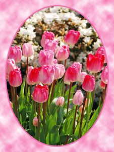 Pink Tulips In Oval Frame Royalty Free Stock Photography