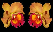 Free Two Orange And Red Color Cattaliya Orchid Stock Image - 17996811