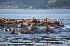 Free Sea Lions Stock Image - 17997031