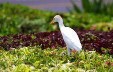 Free Egret Bird Stock Photography - 17997112