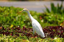 Free Egret Bird Royalty Free Stock Image - 17997166