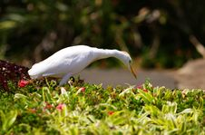 Free Egret Bird Stock Photography - 17997182