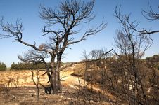 Free Burnt Tree Royalty Free Stock Photos - 17997378