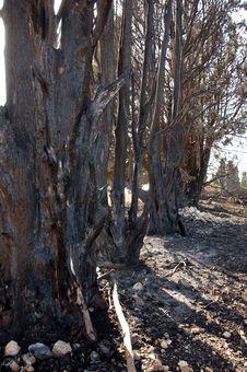 Free Burnt Tree Royalty Free Stock Photo - 17997435