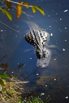 Alligator Floating Nearshore Stock Photo