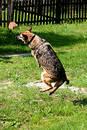 Free Flying Sheep-dog Royalty Free Stock Image - 184056